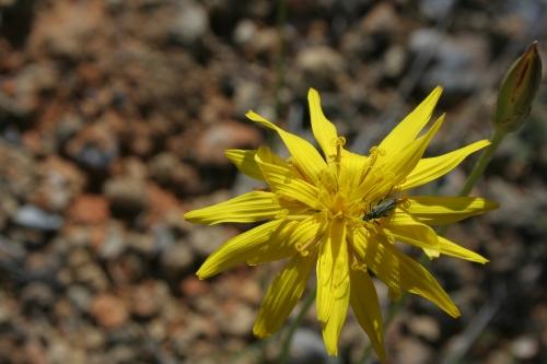 Scorzonera crocifolia Αρχαία Θουρία,  Πλατύ 15 Μάη 2014