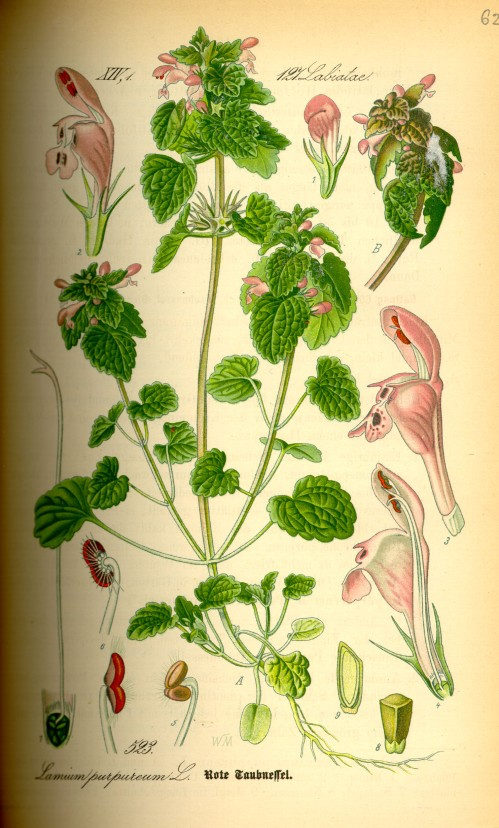 Illustration_Lamium_purpureum0