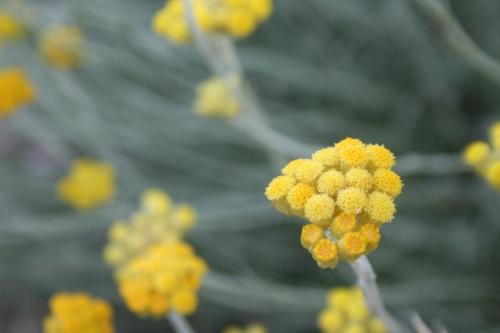 Helichrysum stoechas Αρχαια Θουρια, Ελληνικα, 18 Μάη 2014