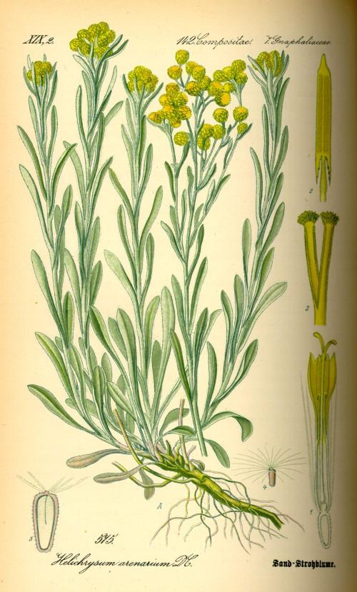Illustration_Helichrysum_arenarium0