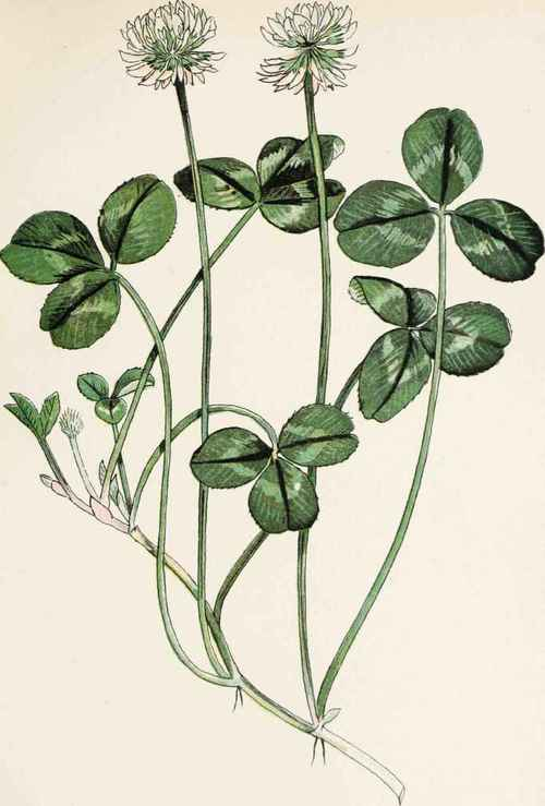 Plate-19-WHITE-OR-DUTCH-CLOVER-TriFolium-repens-L