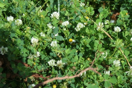 Trifolium repens Αρχαία Θουρια, Αιθαία, 27 Απρίλη 2014
