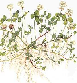 trifolium_repens10