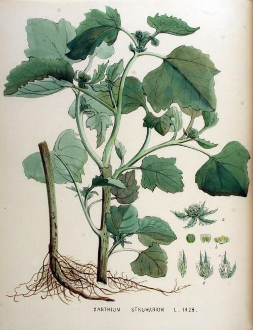 Xanthium_strumarium_—_Flora_Batava_—_Volume_v18