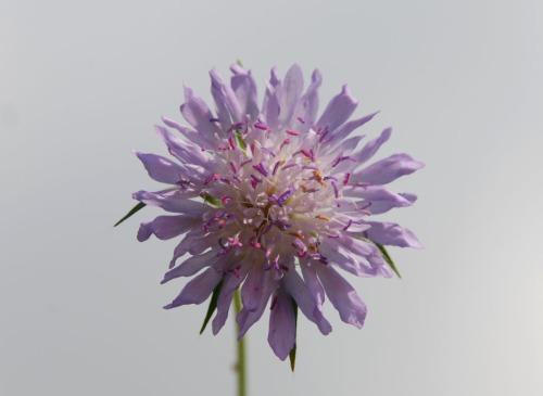 Knautia integrifolia1
