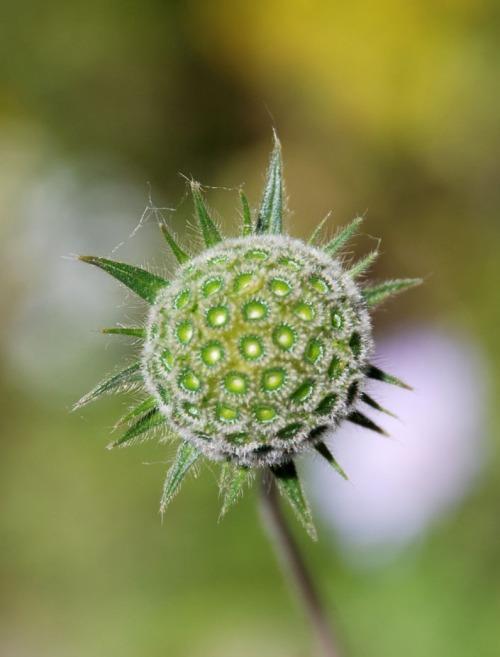 Knautia integrifolia3