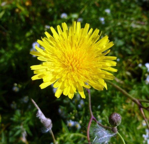 8-perennial-sow-thistle-aka-sonchus-arvensis
