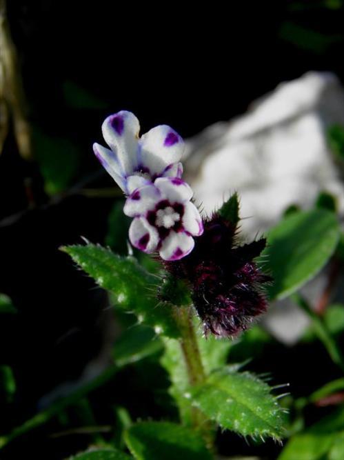 Anchusa variegata-45-2 (1)