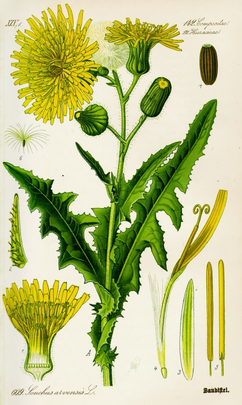 Illustration_Sonchus_arvensis0