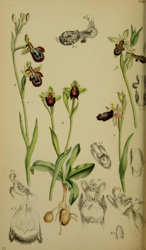 Ophrys_speculum_-_O._bombyliflora_-_O._bertolonii_-_O._insectifera_-_Moggridge_-_Flora_of_Mentone_pl._72_(1871)
