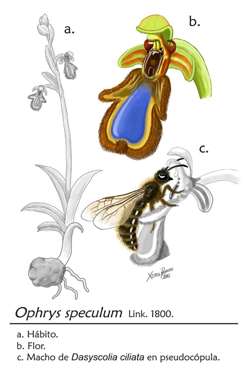 Ophrys_speculum_habit_by_XRomero