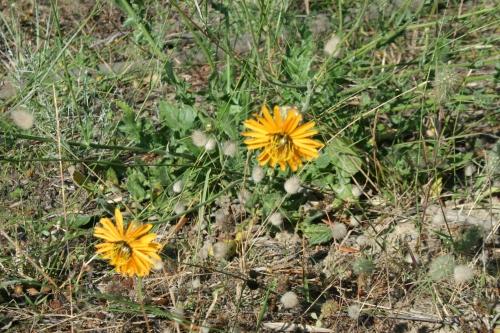 Hymenonema graecum, Αδραλίδα, περιοχή Αρχαίας Θουρίας, Πεπελάδες , 11 Ιούνη  2015