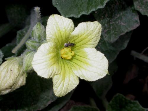 Ecballium_elaterium_Pollination