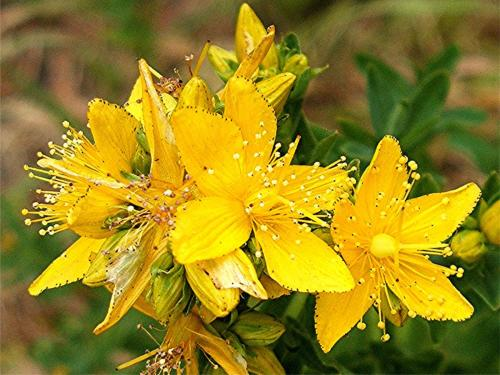 St John's-wort, Perforate (Hypericum perforatum) Leicester Road by Quarry Wall Sapcote SP 4973 9335 (taken 23.6.2006).,