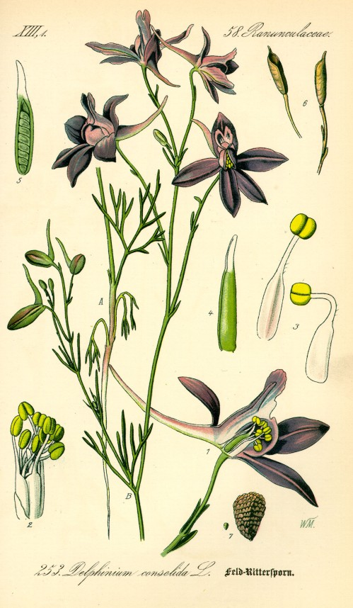 Illustration_Consolida_regalis0