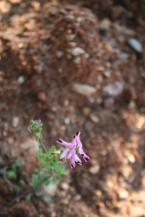 Fumaria Officinalis, Αρχαια Θουρία, Μπουφόραχη , 22 Φλεβάρη 2014