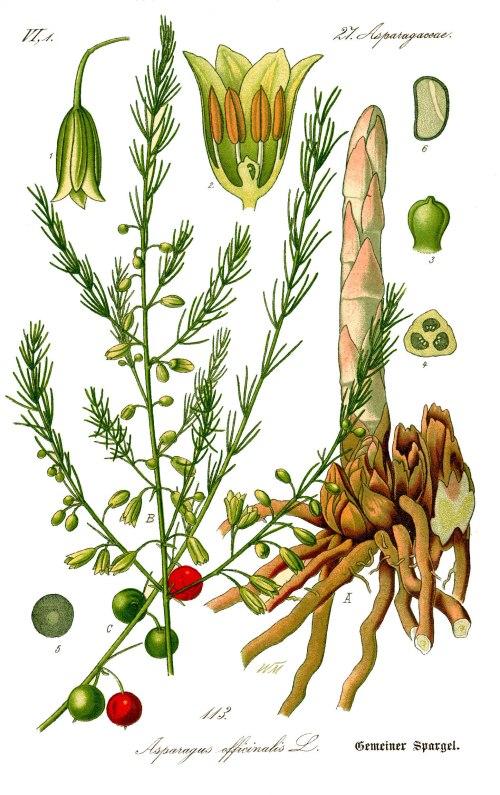 https://en.wikipedia.org/wiki/Asparagus
