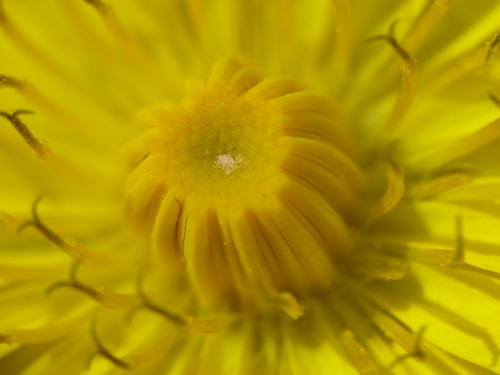 Nimes_Hawk's-beard_(Crepis_sancta)_close-up_(8558555320)