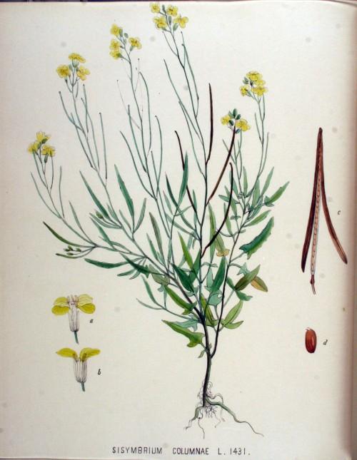 Sisymbrium_columnae_—_Flora_Batava_—_Volume_v18