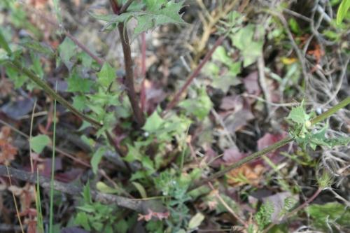 Urospermum picroides, Αρχαία Θουρία ,Αρφαρά, Συκόμαρα,, 18 Μάη 2014