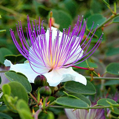 capparis-spinosa