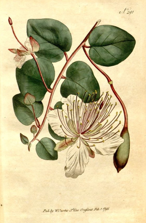 Capparis_spinosa_L._