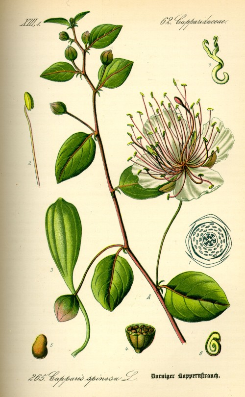 Illustration_Capparis_spinosa0