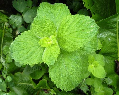 Mentha x rotundifolia (L.) Huds. (10)