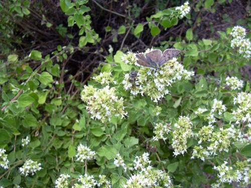 griechischer-oregano-origanum-vulgare-subsp-hirtum_01_samen_911152