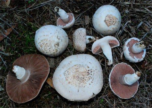 agaricus-campestris-var-squamulosus-31
